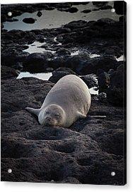 Hawaiian Monk Seal Acrylic Print