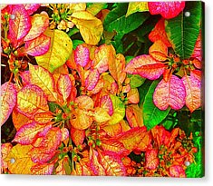 Hawaiian Poinsettias In Puna Acrylic Print