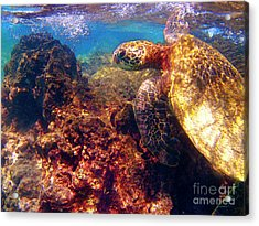 Hawaiian Sea Turtle - On The Reef Acrylic Print