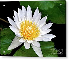Hawaiian White Water Lily Acrylic Print by Sue Melvin