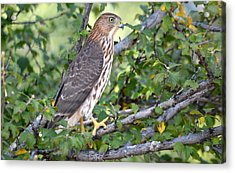 Acrylic Print featuring the photograph Hawk  by AJ Schibig