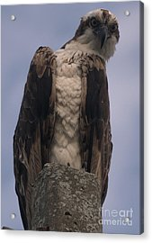Hawk Attitude Acrylic Print