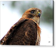 Acrylic Print featuring the photograph Hawk by Bruce Patrick Smith