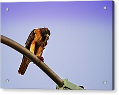 Hawk Eating Acrylic Print
