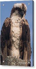 Hawk Glare Acrylic Print