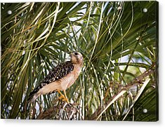 Hawk Hunting Acrylic Print