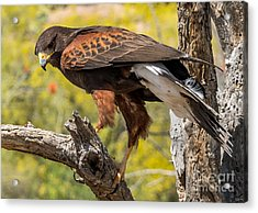 Hawk In A Tree Acrylic Print by Leo Bounds