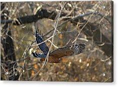 Hawk In Flight Acrylic Print by Rick Friedle