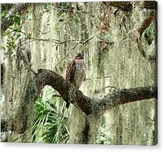 Hawk In Live Oak Hammock Acrylic Print by Peg Urban