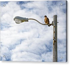 Acrylic Print featuring the photograph Hawk by Jon Exley