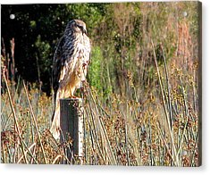 Hawk On Post Acrylic Print