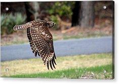 Hawk On The Fly Acrylic Print