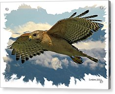 Hawk On The Wing Acrylic Print