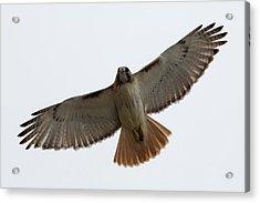 Hawk Overhead Acrylic Print
