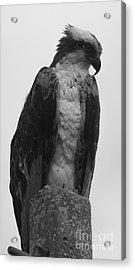 Hawk Perched Acrylic Print
