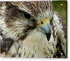 Hawk Acrylic Print