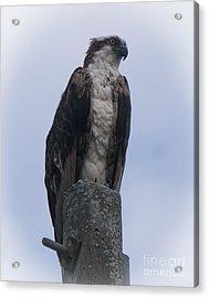 Hawk Pose Acrylic Print