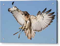 Hawk Showing Off Acrylic Print