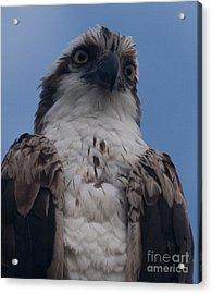 Hawk Stare Acrylic Print