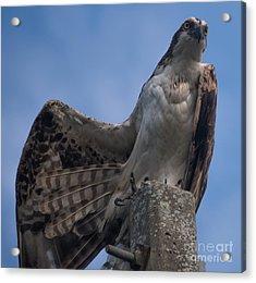 Hawk Stretching Acrylic Print