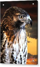 Hawk Sunset Acrylic Print by Adam Olsen