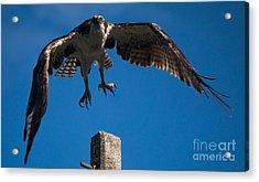 Hawk Taking Off Acrylic Print