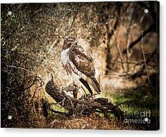 Hawk Through A Thicket Acrylic Print by Robert Frederick