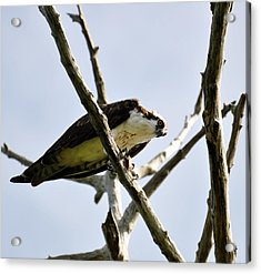 Hawk With Prey Acrylic Print by Rose  Hill