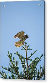 Hawk With Regal Landing Acrylic Print