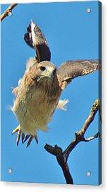 Hawkflight Acrylic Print