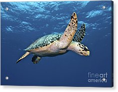 Hawksbill Sea Turtle In Mid-water Acrylic Print by Karen Doody