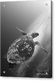 Hawksbill Turtle Ascending Acrylic Print by Steve Jones