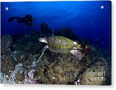 Hawksbill Turtle Swimming With Diver Acrylic Print by Steve Jones