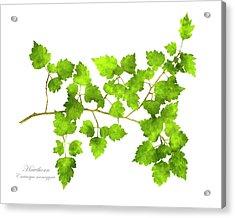 Hawthorn Pressed Leaf Art Acrylic Print by Christina Rollo