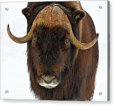Head Butt Acrylic Print by Tony Beck