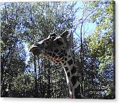 Head Giraffe Acrylic Print by Daniel Henning