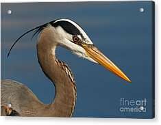 Head Of A Great Blue Heron Acrylic Print