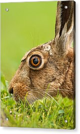 Head Of Hare Acrylic Print