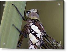 Head Of The Dragon-fly Acrylic Print by Michal Boubin