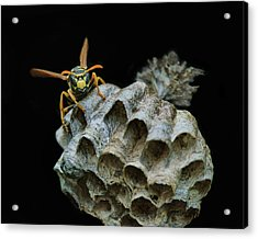 Head-on - Paper Wasp - Nest Acrylic Print by Nikolyn McDonald