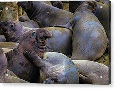 Heard Of Elephant Seals Acrylic Print by Garry Gay