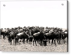 Herd Of Wildebeestes Acrylic Print