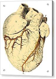 Heart Anatomy, 18th Century Acrylic Print by