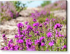 Heather - Calluna Vulgaris - In Flower In Summer Acrylic Print