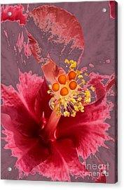 Heather Tinged Mallow  Acrylic Print