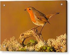 Heathland Robin Acrylic Print