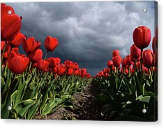 Heavy Clouds Over Red Tulips Acrylic Print by Mihaela Pater