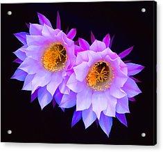 Hedgehog Cactus Flower Acrylic Print