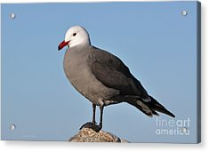Heermann's Gull In Breeding Plumage Acrylic Print