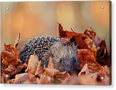 Hedgehog Hiding Acrylic Print